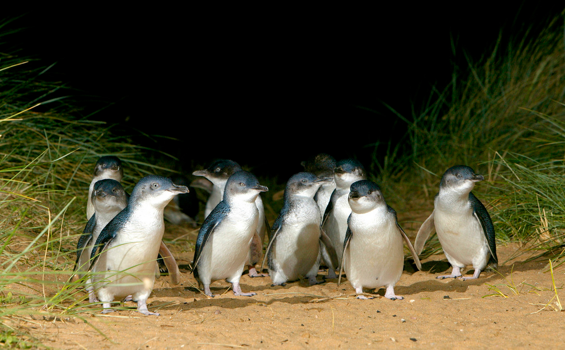 images/stories/australia/Victoria_Worlds_Penguin_Day03.jpg