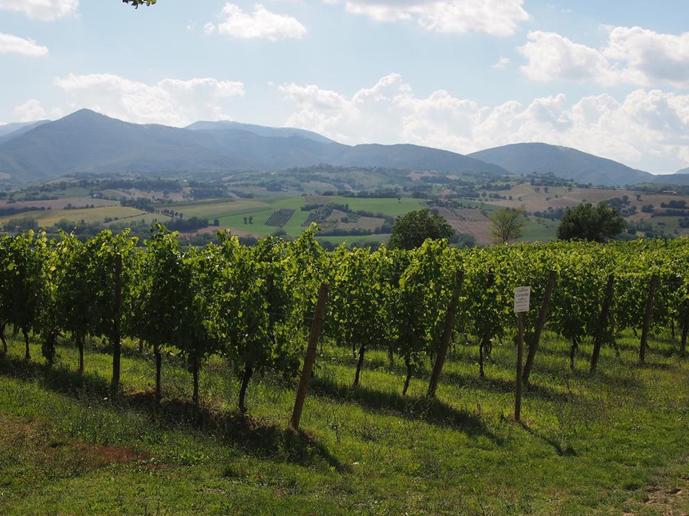 http://www.turismoitalianews.it/images/stories/marche/Vigneti_Verdicchio02.jpg